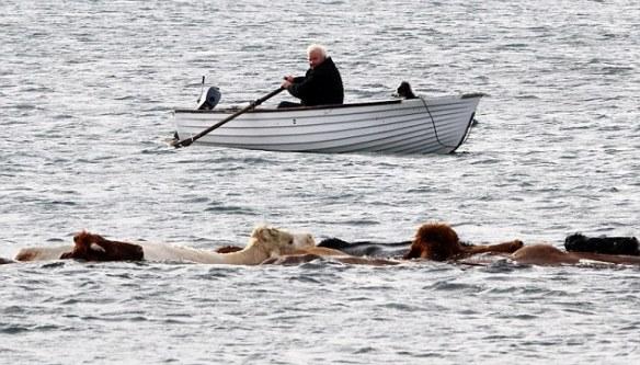 Crofter swims cattle across sea