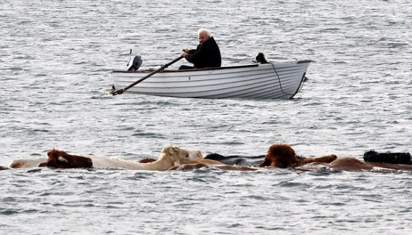 Crofter swims cattle across sea